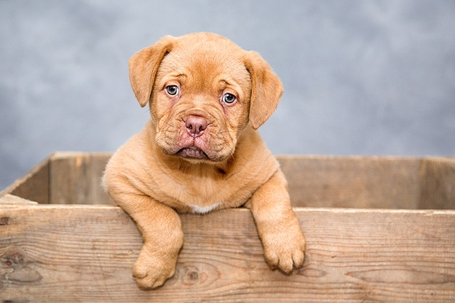 dogue-de-bordeaux-1047521_640